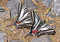 two's company (Vicki's Nature) Tags: zebraswallowtail butterfly male two black white stripes touchofred spots ground rocks three pigeonmountain georgia vickisnature canon s5 2084 eurytidesmarcellus wild