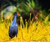 Purple Swamphen (Porphyrio Porphyrio) (AWLancaster) Tags: birding purpleswamphenporphyrioporphyrio purple swamphen porphyrio sony telephoto sunset birds waterbird beautiful native amazing