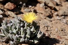 Cheiridopsis robusta? (Aizoaceae)