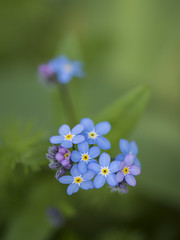 Premier myosotis **--- ---° (Titole) Tags: myosotis bleu blue flower shallowdof green macro thechallengefactory gamewinner