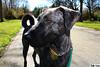 a beauty of a dog (DJR-FOTO) Tags: dog hund hübsch bardina bardino beautiful sun sonne dortmund deutschland djrfoto djr wiese weg schwarz awesome pet haustier spiegelreflex