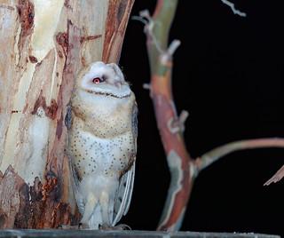 Star gazing Barn Owl   (Tyto alba)