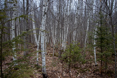 103/365: Birches II