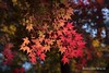 Seoul Autumn (Rolandito.) Tags: south korea autumn foilage red leaf leaves asia seoul