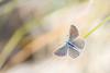 Black-eyed blue (Glaucopsyche melanops), Spaans bloemenblauwtje ((Ruud) Reddingius) Tags: blackeyedblue blue blauwtje butterfly vlinder papillon glaucopsyche cabodegatanijar lacaleta spain