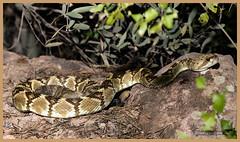 _03A3537 Black-tailed Rattlesnake ©Dancing Snake Nature Photography (Dancing Snake Nature Photography) Tags: arizona nature photography dancingsnakenaturephotography reptiles snakes rattlesnakes blacktailed