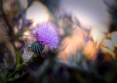 Simplicity (Southern Darlin') Tags: flower plants plant sunset gree purple violet orange peach yellow thistle milkthistle nautre wild woman wildflowers canon photography photo