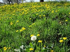 Tarassaco (Eli.b.) Tags: soffione tarassaco prato fiori giallo yellow verde green natura primavera spring printemps nature flowers