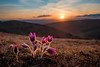 Pasqueflower at sunset #2 (der LichtKlicker) Tags: kaiserstuhl2018 kaiserstuhl baden breisgau sunset sun sunbeams spring frühling hills berge europa nature natur flowers blossoms blooms blüten pflanzen blumen plant meadow wiese trockenrasen weinberge vogesen vosges skyporn cloudporn wolken himmel sonnenuntergang gegenlicht leuchten fujifilm fuji xt2 xf1024mm wider angle weitwinkel evening light abendlicht abend grass gras shadows schatten pulsatilla