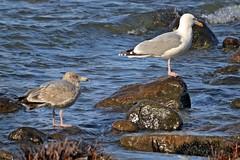 Möwen am Binzer Steinstrand (lt_paris) Tags: urlaubinbinz2018 rügen ostsee meer steine steinstrand möwen vögel binz
