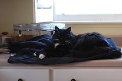 """Have you seen Batman?"" (rootcrop54) Tags: batman tuxedo male longhaired white whiskers black hoodie kitchen counter camouflage neko macska kedi 猫 kočka kissa γάτα köttur kucing gatto 고양이 kaķis katė katt katze katzen kot кошка mačka gatos maček kitteh chat ネコ"