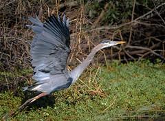Great Blue Heron (Kevin James54) Tags: greenfieldlake nikond850 tamron150600mm wilmington animals ardeaherodias avian bird greatblueheron heron kevingianniniphotocom