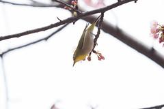 _3188201.jpg (plasticskin2001) Tags: mejiro sakura bird flower