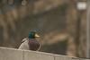 w_11_hermancheruscer (Thomas A290) Tags: ente greifswald erpel vogel universität beton