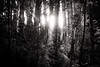 listening to the light (birdcloud1) Tags: forest equinox light lightanddarkness balance trees blackwhite monochrome canoneos80d eos80d canon1855mmlens 1855mmlens amandakeoghphotography amandakeogh birdcloud1 niksilverefex nature wood
