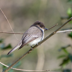 Eastern Phoebe - Cottonwood Trail, SC (hmthelords) Tags: cottonwoodtrailsc