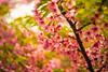 Kawazu Cherry blossom (moaan) Tags: leicasummicronf20dr kobe hyogo japan jp sakura cherryblossom blossoming blossom fullblossom bokeh bokehphotography dof depthoffield veryshallowdepthoffield leica leicaphotography leicamp type240 summicron 60mm f20