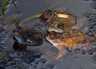 The Frog Chorus