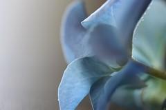 Brittany Blues (Vicky Bella) Tags: macromondays theblues macro flower fleur hortensia