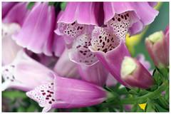 洋地黃   Digitalis (Alice 2018) Tags: hongkong flower 2018 canon carlzeiss zeiss jena ddr flektogon 35mmf28 flektogon35mmf28 m42 efmount adaptor spring canoneos7d eos7d pink digitalis autofocus