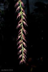 Bulbophyllum josephi (LukusuziRiver) Tags: orchid bulbophyllum