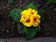 Primrose (Anna Gelashvili) Tags: yellowflower flower цветочки garden сад цветок flowers primrose примула цветы ყვავილი ყვავილები ფოთლები plant soil почва растение leaf macro bright лист макрос яркий