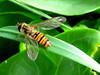 Episyrphus balteatus (cawthraw) Tags: hoverfly episyrphusbalteatus