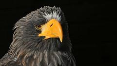 Riesenseeadler (karinrogmann) Tags: riesenseeadler greifvogel stellersseaeagle birdofprey aquiladimaredisteller rapace
