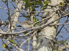 _J3A6315 7D Mark ll Tamron 150-600mm G2 Yellow-rumped Warbler (greaves_russell) Tags: bigmorongocanyonpreserve boxcanyonrd nature animals fitness travel sprint overstock people music flickr dancingwiththestars games oops bing foxnews espn cars target bestbut bolsachicawetlands wildlife jobs locations typesofclothing professions days hours minutes dog cat fish bird cow moon world earth forest sky plant wind flower amazon ocean river mountain rain snow tree sanjoaquin anzaborrego huntingtonbeach disneyland knottsberryfarm sandiego forsterstern landscapewhitewater civilwarreenactment