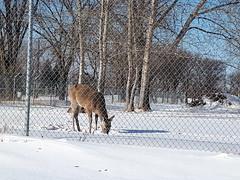 20180228_101423 (forluvofsex) Tags: deer winter snow animal daytime winnipeg feeding