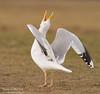 Caspian Gull (Larus cachinnans) (www.mikebarthphotography.com 1.5M Views thanks !) Tags: birds hungary caspiangull laruscachinnans birdwatching wildlifephotography naturephotography birdphotography