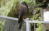 Zealandia ~ Karearea (whitebear100) Tags: zealandia nz newzealand northisland wellington karearea nzfalcon 2018