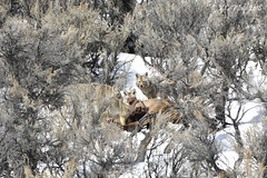 Coyotes on winter-killed elk carcass: the bloody nose (V. C. Wald) Tags: tamronsp150600f563divcusdg2 yellowstoneinwinter coyote canislatrans yellowstonenationalpark