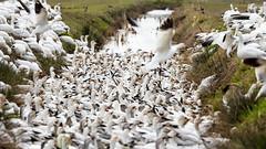 Avalanche of Snow Geese (Brendinni) Tags: birds snowgeese avalanche skagitvalley washington grass water fowl chaos landscape birding