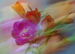 Tulpaner (evisdotter) Tags: tulpaner tulips colors 2in1 flowers blommor textured