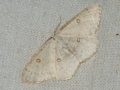 Cyclophora albipunctata - Birch mocha - Кольчатая пяденица обыкновенная (Cossus) Tags: cyclophora geometridae sterrhinae пяденица 2009 анциферово