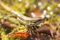 Basking in the bokeh (Pog's pix) Tags: lizard wild wildlife nature naturallight macro detail closeup reptile scotland brechin montreathmontforest montreathmont woods forest angus bokeh basking spring colourful head eye scales moss damp green leaves commonlizard lacertazootocavivipara behaviour