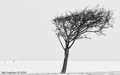 One of Four (Neil_Leighton) Tags: blackwhite ditchlingbeacon eastsussex landscape leisure monochrome snow southdownscountrypark southdownslandscape sussex sussexcountryside tree treebranches walking woodland