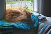 built-in nose warmer (rootcrop54) Tags: jimmy orange tabby male longhair fluffy cat fleece blanket couch sofa window neko macska kedi 猫 kočka kissa γάτα köttur kucing gatto 고양이 kaķis katė katt katze katzen kot кошка mačka gatos maček kitteh chat ネコ