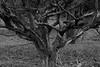 Cerrado (Andre Lourenco) Tags: sony alpha sonyalpha 68 a68 ilca68 parque park nature natureza natural brasilia brasil brazil olhosdagua blancetnoir black blackandwhite noiretblanc whiteonblack whiteandblack cerrado tree arvore sal100m28