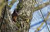 Écureuil Roux (Avery Godel) Tags: écureuil roux squirrel sciurus vulgaris animalier animalière animaux animal arbre wild wildlife