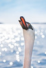 Begging for Food (Ranveig Marie Photography) Tags: ådnanesosen bømlo svane swan bokeh easter spring explore explored water light sunshine neck drops wet våt dråper wild wildlife swans svaner closeup beak norge norway norwegen noruega fauna norsk natur nature knoppsvane cygnusolor muteswan portrait hals knopsvane schwan höckerschwan knópsvanur cygnetuberculé cygnemuet knölsvan svan waterfowl waterbird fugl bird photography friluft images pictures photos ranveigmarienesse ranveignesse pics photographs visitnorway outdoors bilder