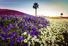 Flower Valley (Photonistan) Tags: springflower20172018 smileonsaturday flora flower flowercarpet flowervalley worldslargestflowercarpet yanbu guinnessworldrecord beautiful dream dreamworld royalcommission
