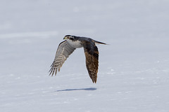 Northern Goshawk Adult (Peter Stahl Photography) Tags: alberta canada ca northerngoshawk goshawk snow spring hunting