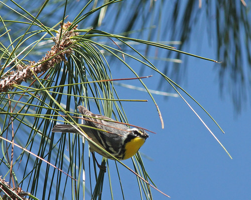 Yellow-throated Warbler (Setophaga dominica)