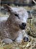 Pretty little white lamb (ZoeBee2) Tags: lamb baby sheep cute ewe cuddly ruminant livestock farming lambing spring easter happy wool white shetland ryeland pretty straw farm barn