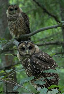 Northern Spotted Owlets (Strix occidentalis caurina) - WA