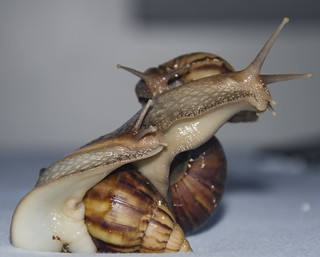 Lissachatina fulica (ex: Achatina fulica) - Giant African Snail / Caracol-Gigante-Africano (Férussac, 1821)