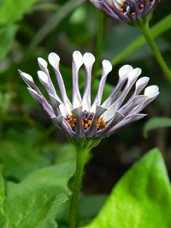 Osteospermum Spider White South African Daisy at the Allan Gardens Conservatory 2018 Spring Flower Show by garden muses-not another Toronto gardening blog