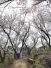 18o8007 (kimagurenote) Tags: 桜 sakura cherry blossom prunus cerasus flower tree 多摩森林科学園 tamaforestsciencegarden 東京都八王子市 hachiojitokyo